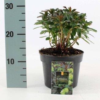 Euphorbia amygdaloides 'Purpurea' | Amandelwolfsmelk (Ø 17cm pot)