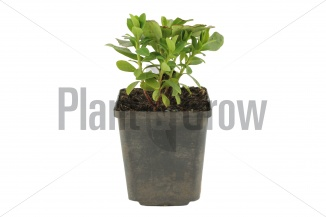 Euphorbia amygdaloides 'Robbiae' | Wolfsmelk (pot 9x9cm) - VOORJAAR