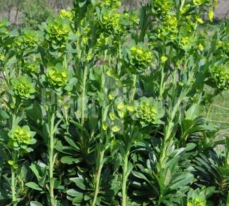Euphorbia amygdaloides 'Robbiae'