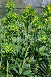 Euphorbia amygdaloides 'Robbiae' | Wolfsmelk