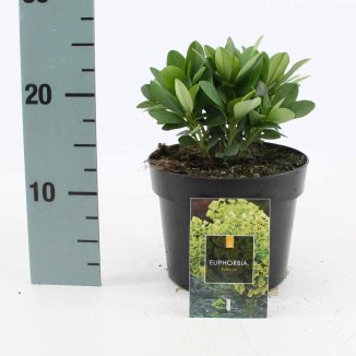 Euphorbia amygdaloides 'Robbiae' | Wolfsmelk (Ø 17cm pot)