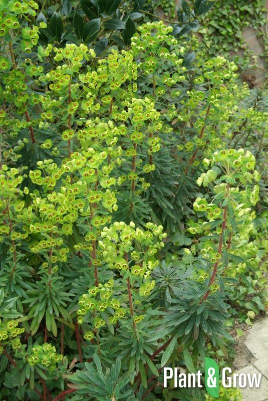 Euphorbia martinii   Wolfsmelk