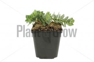 Euphorbia myrsinites | Wolfsmelk (pot 9x9cm) - VOORJAAR