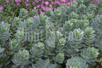 Euphorbia myrsinites | Wolfsmelk