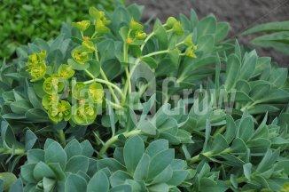 Euphorbia myrsinites | Wolfsmelk in bloei