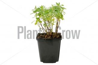 Euphorbia polychroma | Wolfsmelk (pot 9x9cm) - VOORJAAR