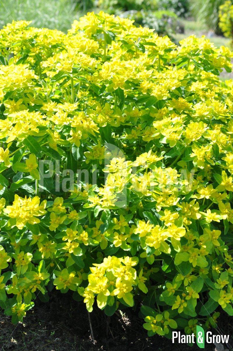 Euphorbia polychroma | Wolfsmelk
