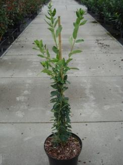 Exochorda macrantha 'The Bride'   Parelstruik (12L pot)