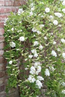 Exochorda macrantha 'The Bride' | Parelstruik als gevelplant