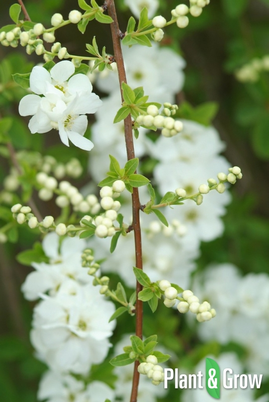 exochorda macrantha 39 the bride 39 kopen plant grow. Black Bedroom Furniture Sets. Home Design Ideas