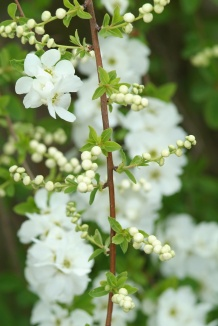 Exochorda macrantha 'The Bride' | Parelstruik