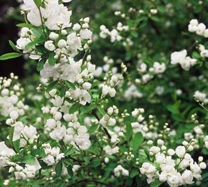 Exochorda macrantha 'The Bride' Parelstruik