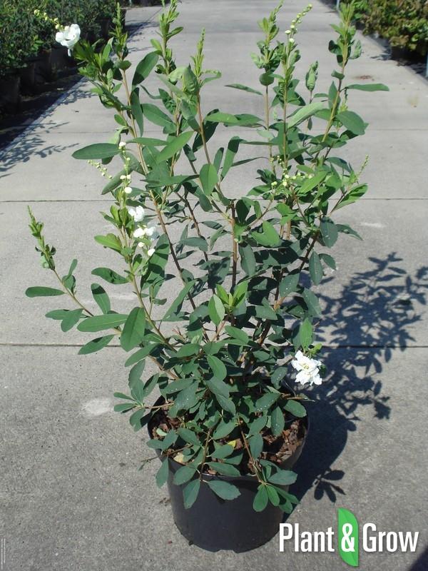 Exochorda racemosa 'Niagara' | Parelstruik (12L pot)