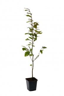 Fagus sylvatica 'Atropunicea' | Bruine beuk (pot 9x9cm) - zomerbeeld