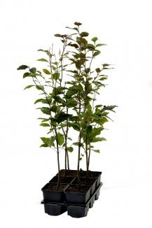 Fagus sylvatica 'Atropunicea' | Bruine beuk (pot 9x9cm) 6-pack