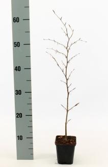 Fagus sylvatica 'Atropunicea' | Bruine beuk (pot 9x9cm) - winterbeeld