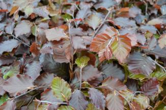 Fagus sylvatica 'Atropunicea' | Bruine beuk