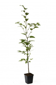 Fagus sylvatica | Gewone beuk (pot 9x9cm) - zomerbeeld