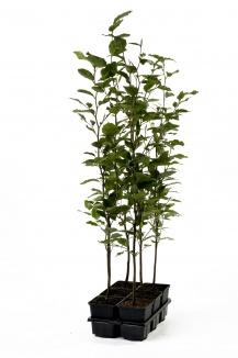 Fagus sylvatica | Gewone beuk (pot 9x9cm) 6-pack