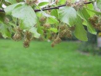 Fagus sylvatica | Gewone beuk