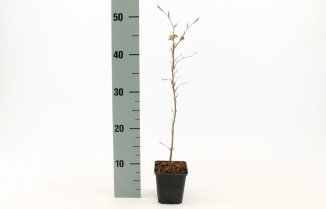Fagus sylvatica | Gewone beuk (pot 9x9cm) - winterbeeld