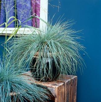 Festuca glauca | Blauw schapengras als potplant