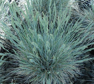 Festuca glauca Blauw schapengras