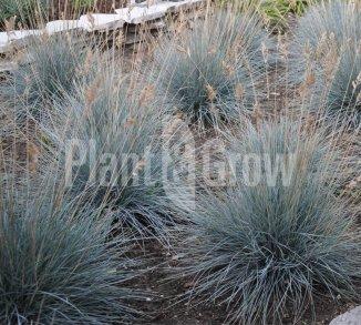 Festuca glauca 'Elijah Blue' Blauw schapengras
