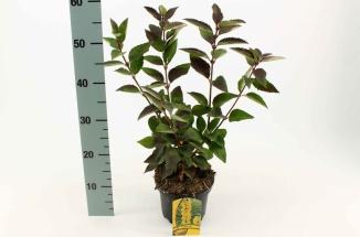 Forsythia intermedia 'Goldrausch'   Chinees klokje (Ø 17cm pot)