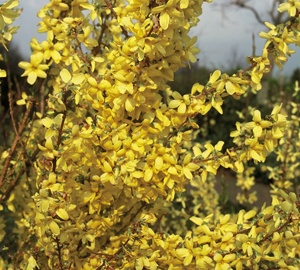 Forsythia intermedia 'Weekend' Chinees klokje