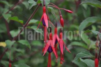 Fuchsia magellanica 'Gracilis' | Bellenplant