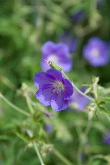 Geranium 'Brookside' | Ooievaarsbek