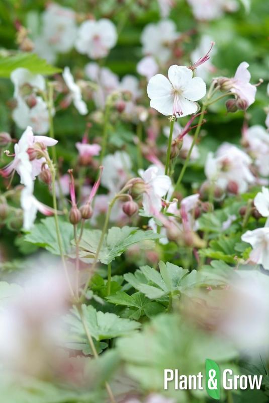 Geranium cantabrigiense 'Biokovo' | Ooievaarsbek