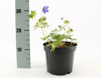 Geranium 'Johnson's Blue' | Ooievaarsbek (Ø 17cm pot)