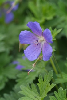 Geranium 'Johnson's Blue' | Ooievaarsbek