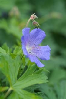 Geranium 'Johnson's Blue' | Ooievaarsbek