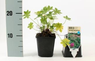 Geranium macrorrhizum 'Bevan's Variety' | Ooievaarsbek (pot 9x9cm)