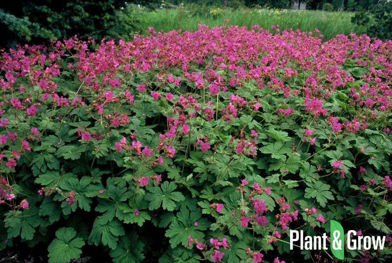 Geranium macrorrhizum 'Bevan's Variety' | Ooievaarsbek