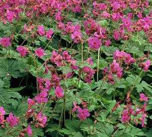 Geranium macrorrhizum 'Bevan's Variety' Ooievaarsbek