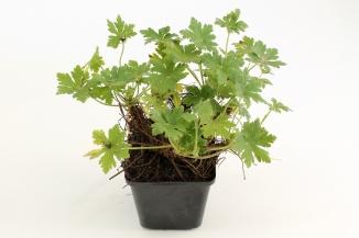 Geranium macrorrhizum 'Ingwersen's Variety' | Ooievaarsbek (pot 9x9cm)