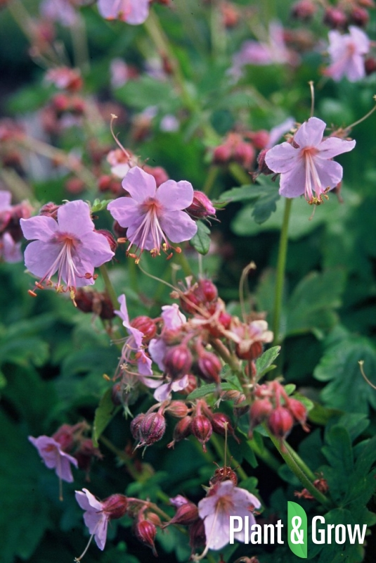 Geranium macrorrhizum 'Ingwersen's Variety' | Ooievaarsbek