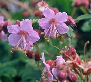Geranium macrorrhizum 'Ingwersen's Variety' Ooievaarsbek