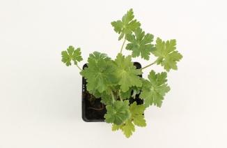 Geranium macrorrhizum | Ooievaarsbek (pot 9x9cm)
