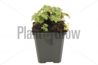 Geranium macrorrhizum 'Spessart' | Ooievaarsbek (pot 9x9cm)