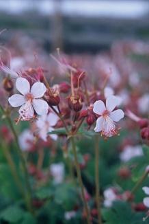 Geranium macrorrhizum 'Spessart' | Ooievaarsbek