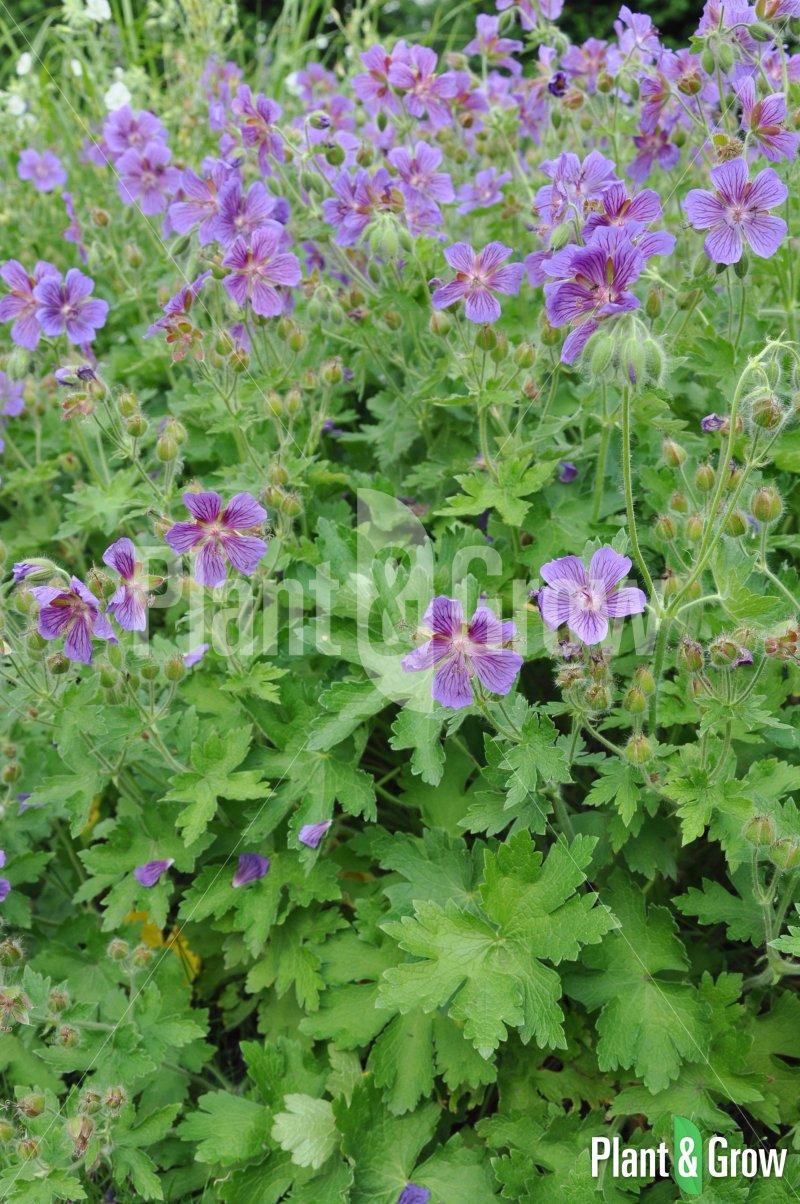 Geranium magnificum | Ooievaarsbek