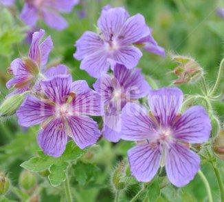 Geranium magnificum Ooievaarsbek