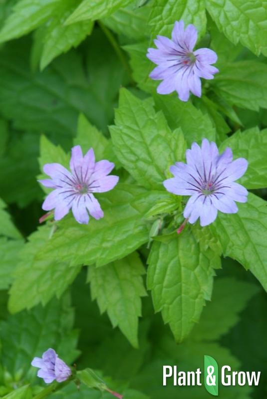 Geranium nodosum | Ooievaarsbek
