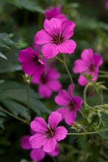 Geranium 'Patricia' | Ooievaarsbek