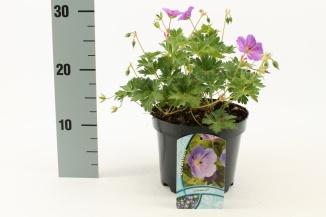 Geranium 'Rozanne' | Ooievaarsbek (Ø 17cm pot)